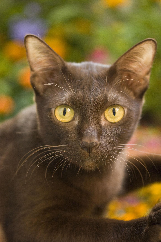 Close-up of a redish-brown suphalak cat