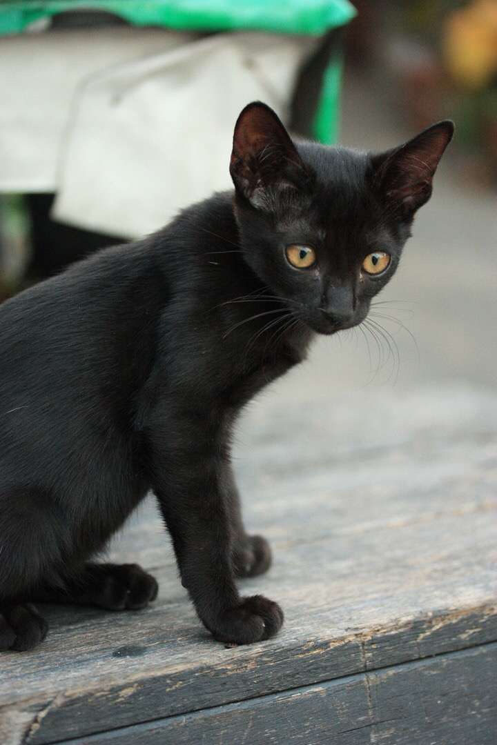 A black konja cat of Thailand