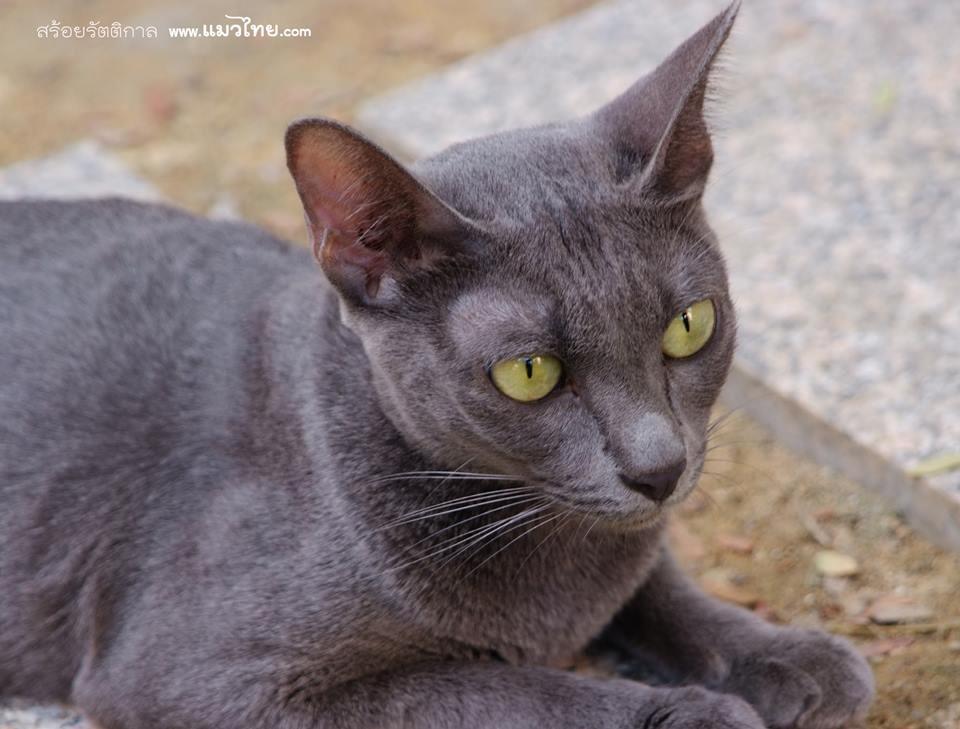 An all grey khorat cat from Thailand