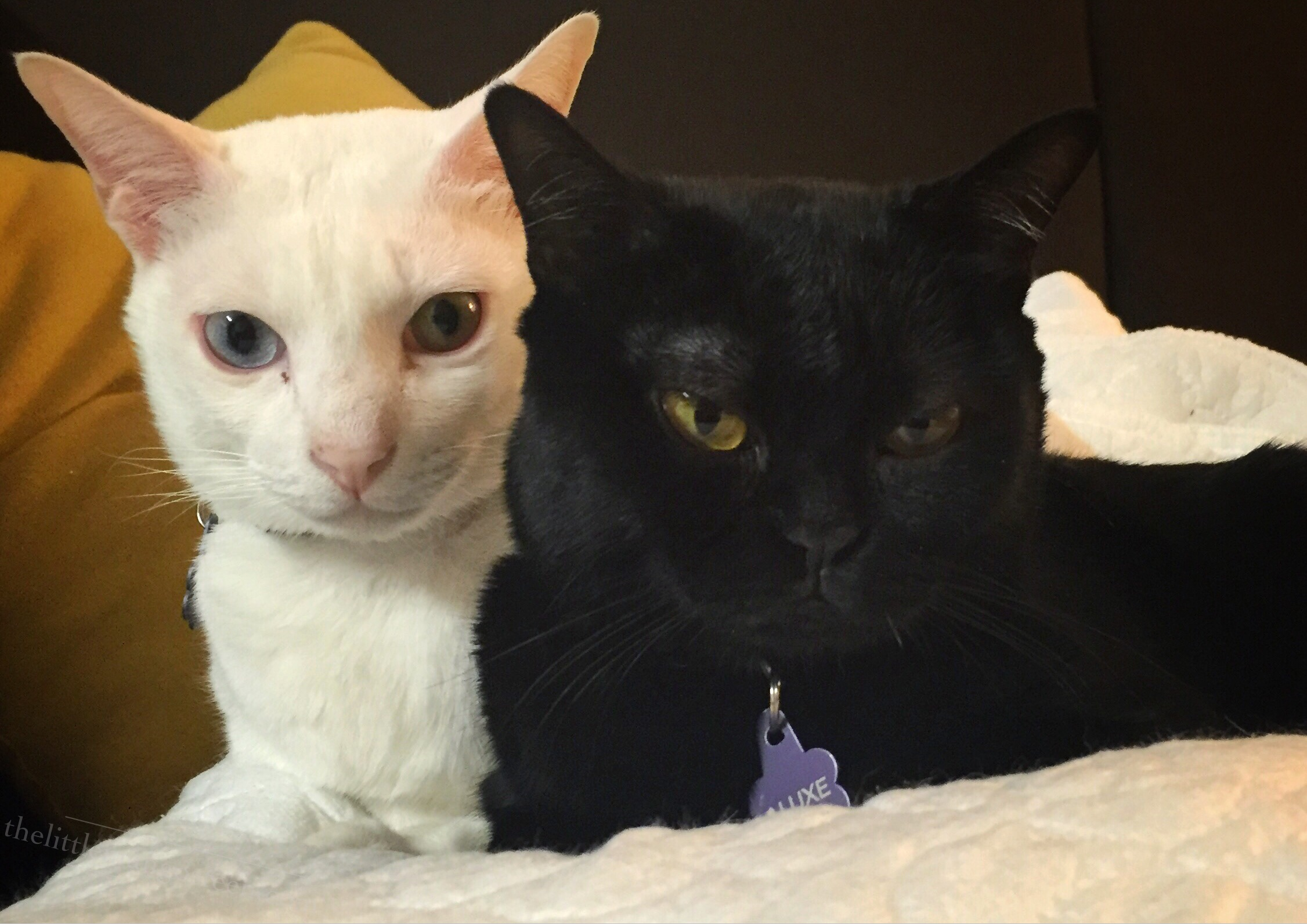 A white khaomanee cat with odd eyes and an all black bombay cat with yellow eyes cuddled together