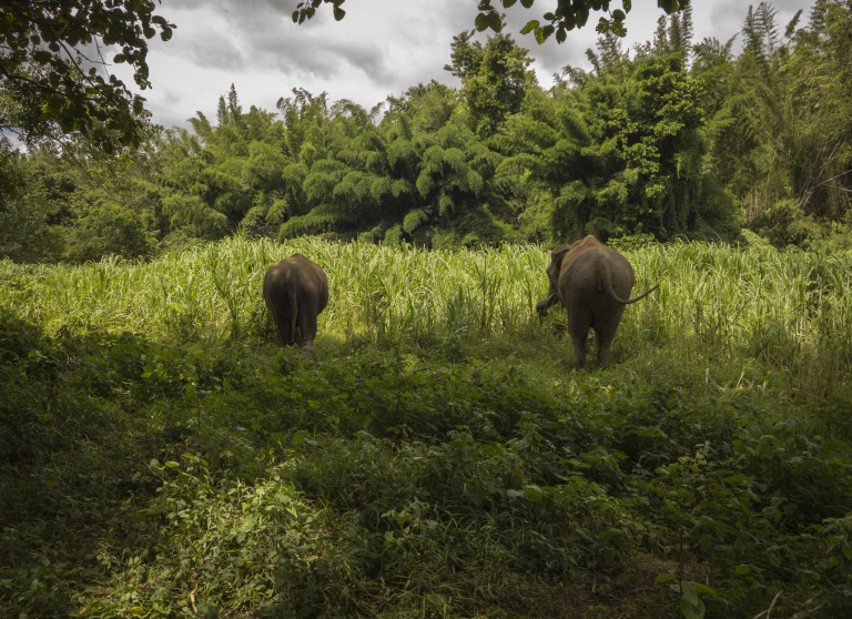 Elephants look small in the tall grasses
