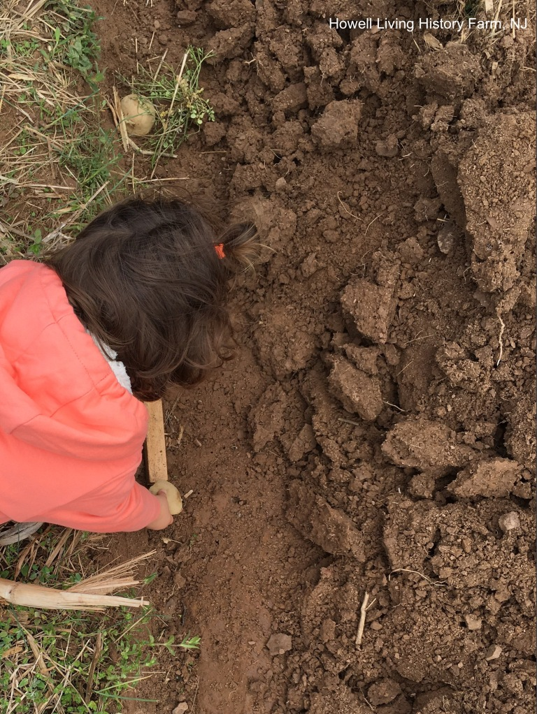 Child planting potato cuttings in the soil with a wooden spacer