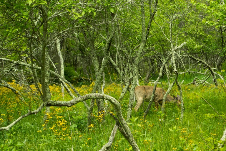 A deer grazing and partly hidden by vegetation in the Shenandoah National Park