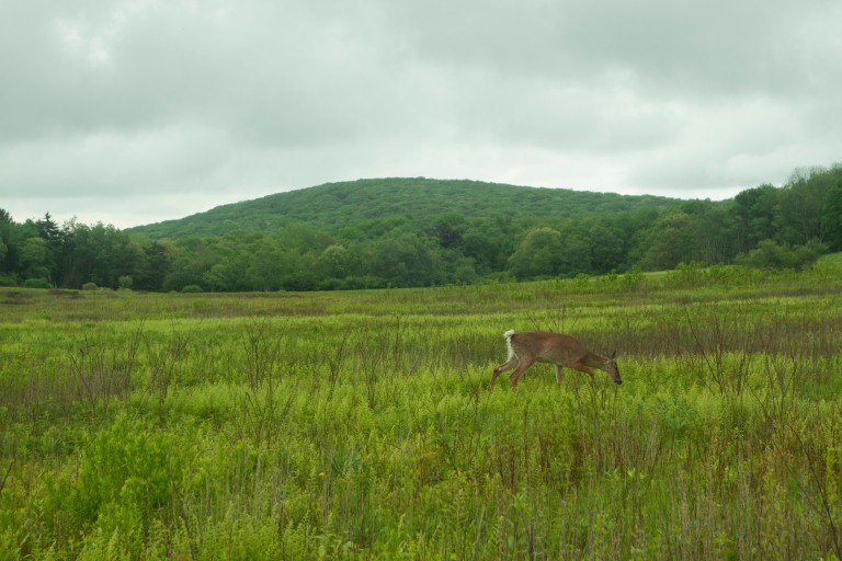 View of the Big Meadows in Shenandoah National Park with a deer grazing