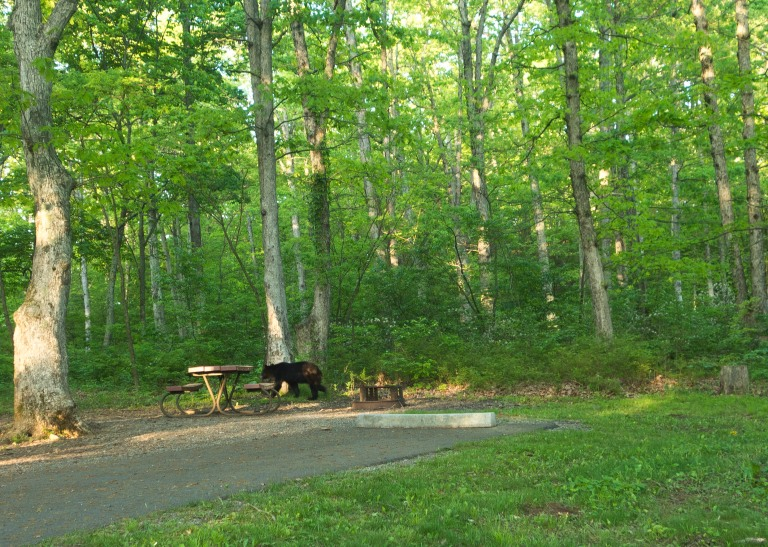 A black bear sneaking away near the barbecue pit in a campground in Shenandoah National Park