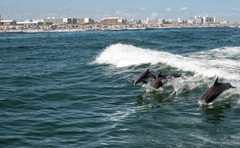A family of dolphins swims in the wake of the boat